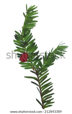 yew twig with fruits on white background  - stock photo