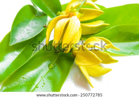Ylang-ylang flower - stock photo