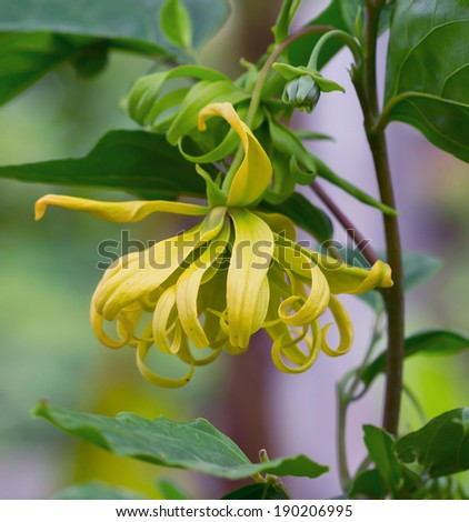 Ylang-Ylang flower on tree, for the manufacture of essential oil - stock photo