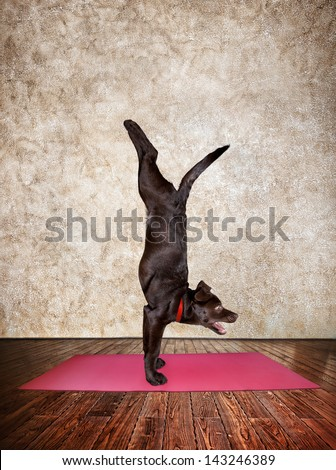 Yoga dog doing handstand pose on red yoga mat in yoga hall - stock photo