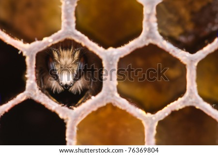 yong bee inside honeycomb closeup - stock photo