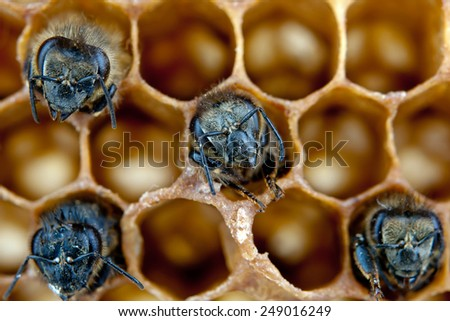 yong bees inside honeycomb. Close up - stock photo