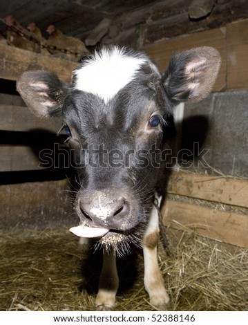 Yong cow standing in barn - stock photo