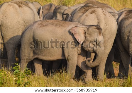 Yong elephant in the elephant herd in nature during food time at Khao Yai National Park Thailand. - stock photo