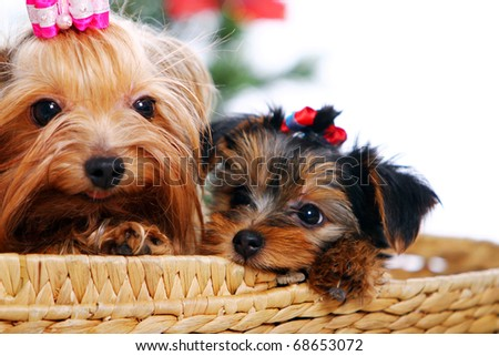 York terrier dog with puppies at home - stock photo