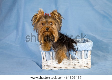 Yorkie dog sitting inside white basket