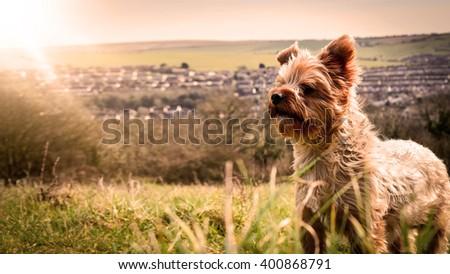 Yorkie in park - stock photo