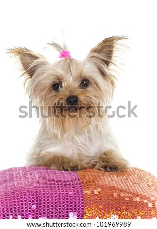 Yorkie on Sequence Pillow - stock photo