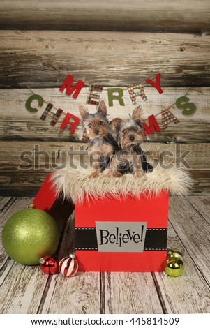 Yorkie Puppies on a Christmas Themed Background - stock photo
