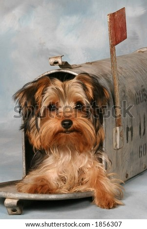 Yorkie Puppy in mail box