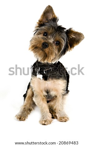 Yorkie puppy isolated on white with her head tilted - stock photo