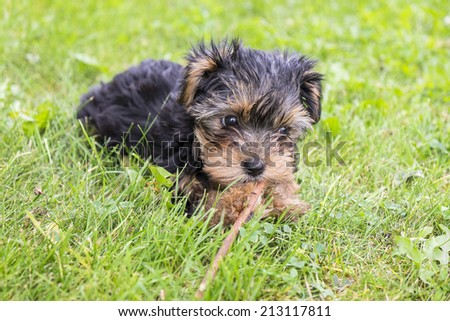 Yorkie Puppy Playing with a Stick on Green Grass - stock photo