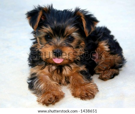 Yorkie Puppy sticking his tongue out - stock photo