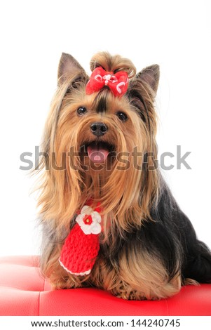 yorkie,red tie,yorkshire terrier,red ribbon,smiling dog,christmas dog,silky hair, - stock photo