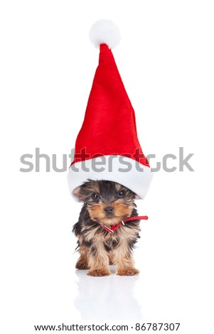 yorkie toy puppy standing with a big santa hat on white background - stock photo