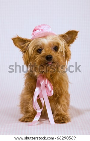 Yorkie with pink hat and satin bow - stock photo
