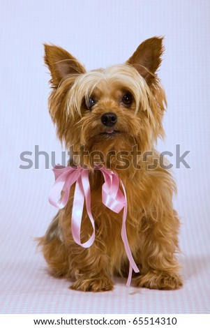 Yorkie with pink ribbon bow - stock photo