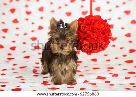 Yorkie with rose topiary on Valentine theme background