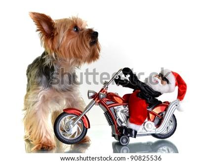 yorkie with santa on motorbike - stock photo