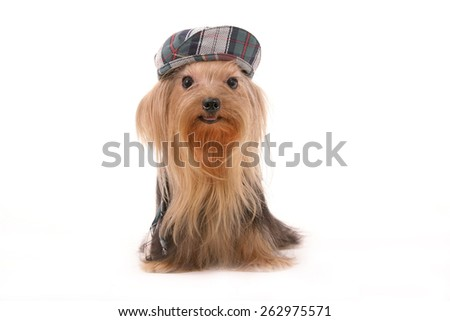 yorkie / yorkshire terrier / cute yorkie / hat / dress up doggie / cute dog / little dog / act art dog / big eyes dog / tiny / puppy / puppie  - stock photo
