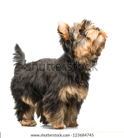 Yorkishire terrier puppy isolated on white - stock photo