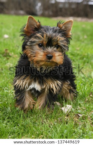 Yorkishire terrier puppy on green grass
