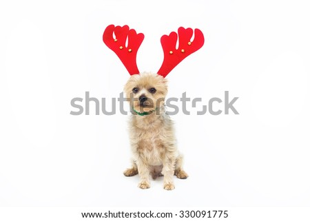 Yorkshire. Christmas dog costume. Reindeer ears diadem. Reindeer dog atrezzo. Color photo Studio with white background