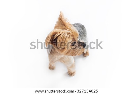 Yorkshire dog. Color studio photography on white background, view from above