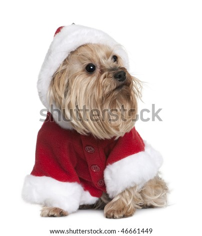 Yorkshire in Santa Claus suit, 4 years old, sitting in front of white background - stock photo