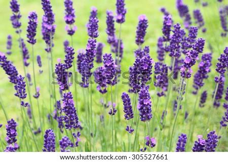 Yorkshire lavender, Terrington, North Yorkshire, England, UK - stock photo
