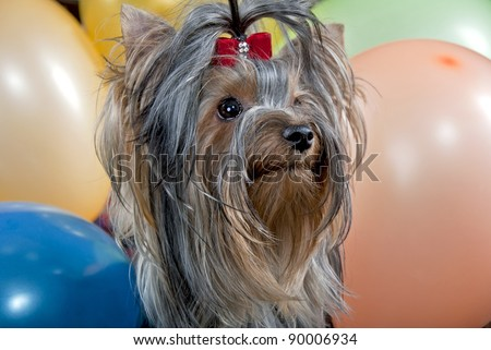 Yorkshire terrier a toy balloon