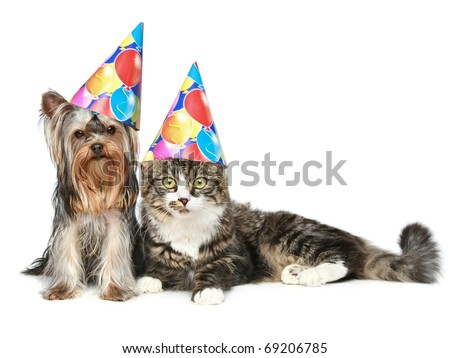 Yorkshire terrier and a Norwegian forest cat in festive cones resting on a white background - stock photo