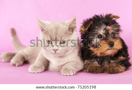 Yorkshire Terrier and British kitten rare color (lilac) - stock photo