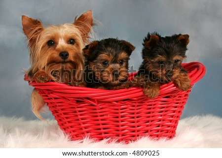 Yorkshire Terrier and two Yorkie Puppies in a Red Basket