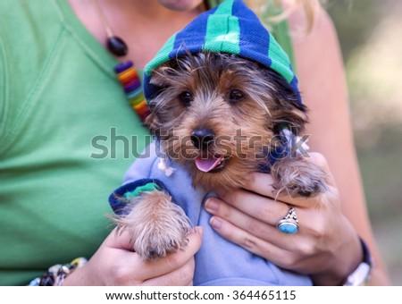 Yorkshire Terrier Dog, adorable pet dress - stock photo