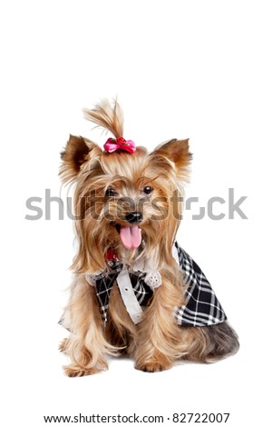 Yorkshire terrier dog in black-and-white clothes isolated on white - stock photo