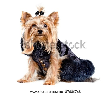 Yorkshire terrier dog in black clothes on white background - stock photo