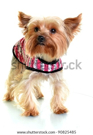 Yorkshire terrier dog in clothes on white background