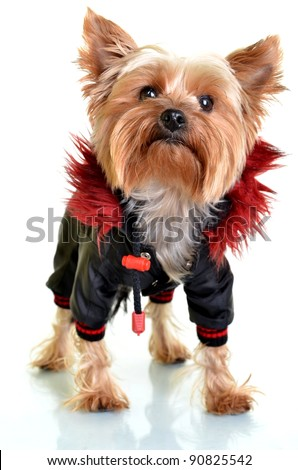 Yorkshire terrier dog in clothes on white background - stock photo