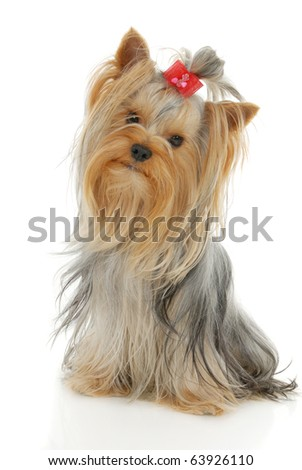 Yorkshire Terrier dog in front of a white background - stock photo