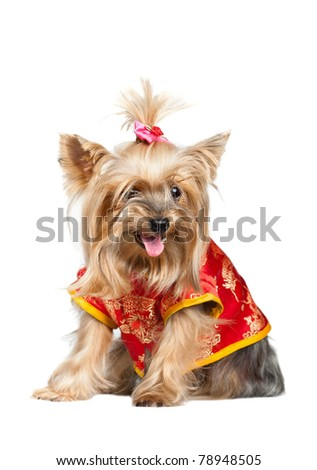 Yorkshire terrier dog in red chinese clothes isolated on white