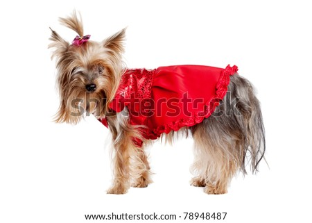 Yorkshire terrier dog in red clothes isolated on white