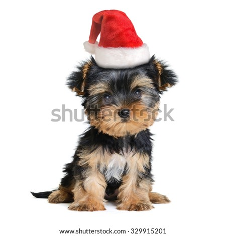 yorkshire terrier dog in the santa hat isolated on white, Merry Christmas and Happy New Year - stock photo