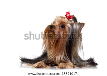 yorkshire terrier dog Isolated over white background - stock photo