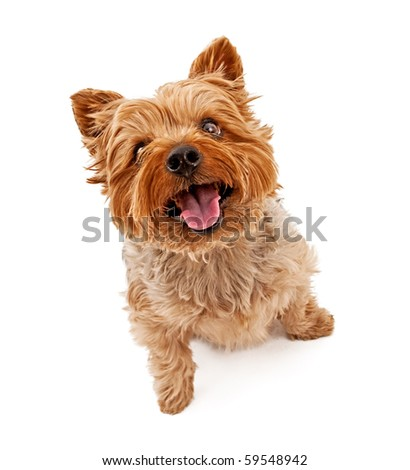 Yorkshire Terrier dog looking up and isolated on white. - stock photo