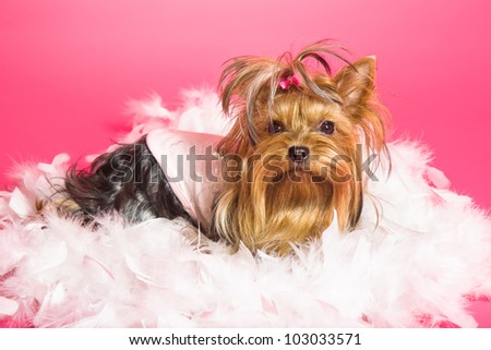 Yorkshire Terrier dog on pink background - stock photo