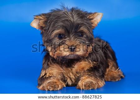Yorkshire Terrier dog on white - stock photo