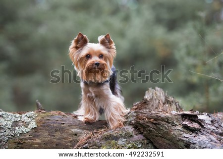 yorkshire terrier dog posing outdoors in autumn