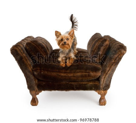 Yorkshire Terrier dog sitting on a designer fur lined chair. Isolated on white.