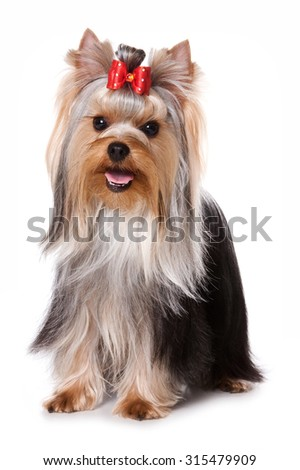 Yorkshire Terrier dog standing and looking at the camera (isolated on white)